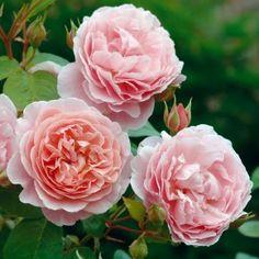 Strawberry Hill - English Rose Climbers - English roses - bred by David Austin Strawberry Hill, Strawberry Garden, Buy Roses, Pink Roses, Roses David Austin, David Austin Climbing Roses, Deadheading Roses, David Austen Roses, Austin Rosen