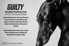 """Guilty for loving you with all of me. Respect the Galgo Español.  Spanish Greyhounds live their entire lives on the brink of starvation, un-stimulated, in dark spaces or tied up at short chains. They have hardly any human contact and they get no affection.   Spanish Greyhounds are seen only as a useful tool for hunting that can be replaced, and discarded when no longer needed. """