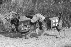 Airdales War Dogs - one a search and rescue wearing a gas mask; the other carries rations