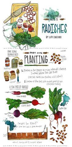 Radishes #vegetarian #food #illustrations