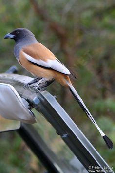 http://www.oiseaux.net/photos/frederic.leviez/images/temia.vagabonde.frle.2g.jpg