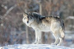 Gray Wolf--Julie Lebel Photo