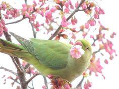 桜とワカケホンセイインコ