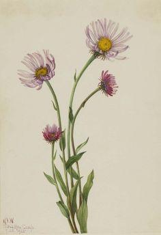 Mary Vaux Walcott, 1860-1940. Alaska Fleabane (Erigeron salsuginosus), 1925, watercolor on paper, 10 x 6 7/8 in. (25.3 x 17.6 cm). Smithsonian American Art Museum.