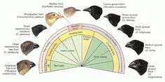 Variation in beak size and shape among the species of Darwin's finches from the Galapagos islands. Physical Education Games, Health Education, Understanding The Times, Modern World History, Cactus, Animal Adaptations, Natural Selection, Team Building Activities, Weird Science
