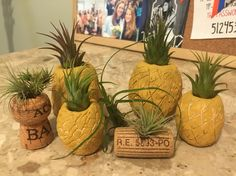 My air plant collection with pineapples and cork