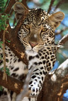 Africa | Close-up of leopard lying on branch in tree. Serengeti National Park, Tanzania | © Winfried Wisniewski / Okapia Images