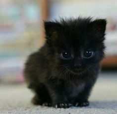 Unbearably Cute Kittens You Absolutely Have to See 18 Cute Baby Animals! Baby Animals Pictures, Cute Animal Pictures, Animals And Pets, Black Animals, Animals Images, Animals Kissing, Jungle Animals, Funny Pictures, Cute Little Animals
