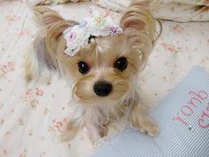 ...Full Grown Tea Cup Yorkie... Puppuru :)