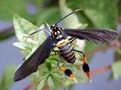 Texas Wasp Moth (Horama panthalon) http://edukalife.blogspot.co.nz/2012/12/top-10-most-beautiful-moths-in-world.html