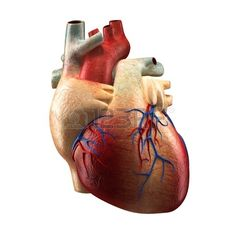 Real Heart Isolated on white - Human Anatomy model Stock Photo