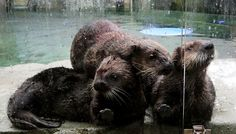 It's a sea-otter pile as Kunik, left, Mak and Rialto line up for another meal at the Vancouver Aquarium. (Alan Berner/The Seattle Times)