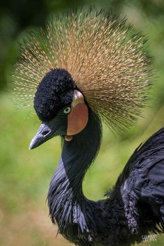 Black-crowned Crane from West Africa
