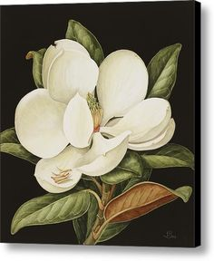 Magnolia Grandiflora Canvas Print / Canvas Art By Jenny Barron