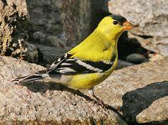 American Goldfinch | Nebraska Bird Library