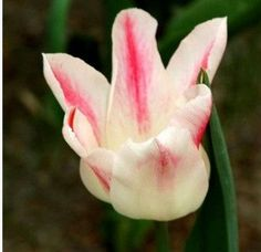 100 Pcs/Pack Tulip Seeds, tulipa Gesneriana, potted Plants, Seasons Flowering Plants