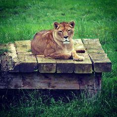 El rey... #leon #cabarceno #hermoso #animals