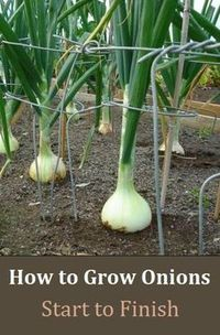 How to Grow Onions - From Start to Finish: Alternative Gardning: How to Grow Oni. - How to Grow Onions – From Start to Finish: Alternative Gardning: How to Grow Oni… – # Check - Veg Garden, Fruit Garden, Edible Garden, Lawn And Garden, Vegetable Gardening, Veggie Gardens, Garden Kids, Tropical Garden, Vegtable Garden Design
