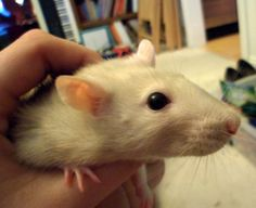This rat is just too cute! Rats, Animals, Animales, Animaux, Rat, Animal, Animais, Dieren