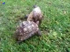 Tortoise helps friend who's flipped over.