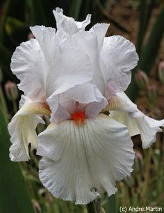 Tall Bearded Iris germanica 'Risque'