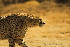 During a game drive in one of South Africa's national parks, we were fortunate enough to stumble on this cheetah walking through the reserve on the lookout for her next meal Kruger National Park, National Parks, Lonely Planet, Big Cats, North West, Cheetah, Travel Guide, South Africa, Wildlife
