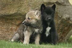 Scientists get goosebumps after undomesticated wolf puppies play fetch Wolf Puppies, Cute Puppies, Dogs And Puppies, Wolf Dogs, Doggies, Wolf Sitting, Baby Wolves, Rare Animals, Strange Animals