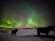 In winter you can see Northern Lights (Aurora Borealis) in Iceland. It is usually most visible from November to March. The Icelandic horses are out almost all day all year , so you can catch great views of the Icelandic horse on a snowy field with the amazing colorful Northern Lights dancing in the sky.