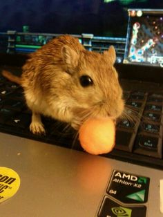 One of our old gerbils. Just bein adorable and stealin cheese puffs.