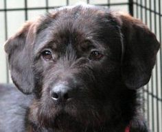 Petfinder Adoptable Dog   Wire-Haired Pointing Griffon   Westmont, IL   HERSHEE
