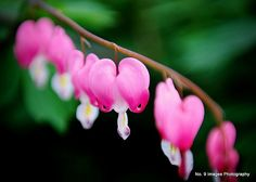 Bleeding Hearts in Spring Bloom  5x7 color print by no9images