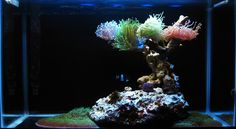Great looking torch corals