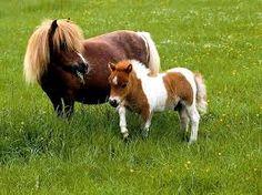 caballo pony de baja estatura ideal para mascota