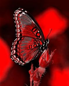 Things I Love About: Colorful Butterflies Red Butterfly, Butterfly Kisses, Butterfly Quotes, Phone Screen Wallpaper, Red Rooms, Red Aesthetic, Aesthetic Grunge, Shades Of Red, Beautiful Butterflies