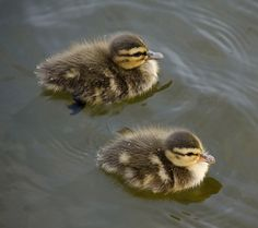 Which Tiny Little Animal Are You? I got a little duckling!!!