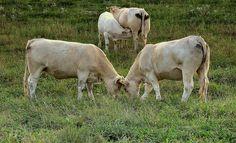 """Dr. Pálffy István  """" Háború és béke """" (Bakonycsernye- Nagyveleg határában) A leírás a képben :)))))))))))  Több kép Istvántól: www.facebook.com/palffydr/photos_albums Cow, Horses, Facebook, Animals, Animales, Animaux, Cattle, Animal, Animais"""