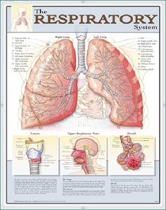 """BODY SCIENTIFIC® BACK-TO-BASICS LAMINATED ANATOMY POSTERS HUMAN RESPIRATORY SYSTEM BY DENOYER-GEPPERT Get back to basics with this full color 18"""" x 23"""" poster that features labeling and style designed"""