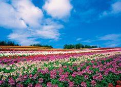 四季彩の丘の花畑 富良野・美瑛に数ある花畑の中で筆者が一番絵になると思っている場所がここ、「四季彩の丘」です。花畑の中でも規模が大きく、一面の花畑が楽しめます。特に大雪山系の十勝岳・美瑛岳の方面に展望が開けており、手前が花畑、奥に雪山といった、「これぞ美瑛!」といった風景が楽しめます。