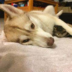 husky-dog-mother-rescues-kitten-lilo-rosie-3