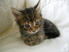 Pure Bred Maine Coon Kittens For Sale for Sale in Fort Wayne ...