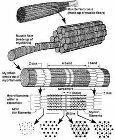 Drawing of a sarcomere Student Stress, Med Student, Exercise Physiology, Anatomy And Physiology, Types Of Muscles, Medical Photos, Nursing School Notes, Stem Cell Therapy, Medical Anatomy