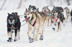 The 40th anniversary of the Iditarod, the 1,049-mile Trail Sled Dog Race begins. http://ti.me/zBys14