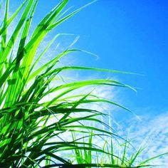 降り注ぐ 陽を浴び育つ サトウキビ 今回はこの写真にあう俳句を大募集します ご応募宜しくお願いします  #おきなわ #恩納村 #さとうきび #青空 #新芽 #自然 #砂糖 #育つ #俳句 #募集 #シーナサーフ #okinawa #onnason #instagood #seanasurf #blue #sky #sugarcane #haiku #offer