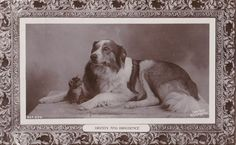 Dignity and Impudence, dog and cat, real photo animal postcard Scotch Collie, Vintage Dog, Old Dogs, Dog Photos, Vintage Postcards, Dog Stuff, Best Dogs, Dog Cat, Advertising