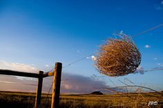 One of the most unusual things about me as a kid was my love of tumbleweeds. I always wanted one--I still do! There's just something about the skeletal, endless rolling.