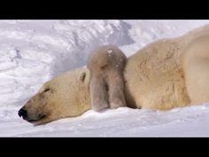 Polar Bear Cubs Take Their First Tentative Steps - Planet Earth - BBC Earth - YouTube