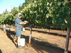 Besemer Cellars ♦ #wino #winery #eldoradocounty #edcf #pickinggrapes