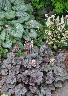 Another EPlant Combination: Brunnera 'Jack Frost' (left) with Heuchera 'Silver Scroll' (in the foreground) and Hosta 'Fire and Ice' (in the upper right).xample of a Beautiful Shade Garden :: Hometalk