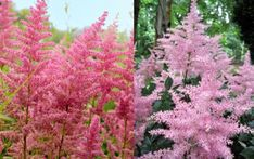 Čechravy neboli Astilbe zvednou zahradu do výšek - Magazinzahrada. Pink Perennials, Astilbe, Gardening Tips, Flowers, Plants, Image, Balcony, Plant, Royal Icing Flowers