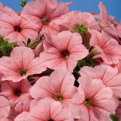 50+ Petunia Celebrity Peach Ice Flower Seeds